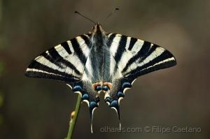 Animais/Borboleta-Zebra (Iphiclides feisthamelii)