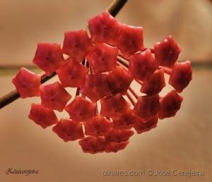 Macro/Flor de cera em botão