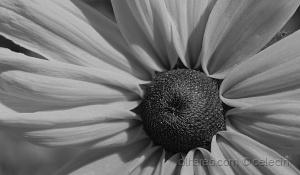 Macro/Hoje até as flores são cinzentas