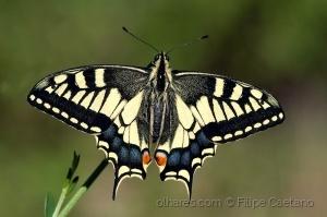 Animais/Borboleta-cauda-de-andorinha (Papilio machaon)