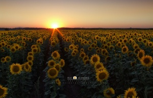 Paisagem Natural/Sunset on sunflowers land