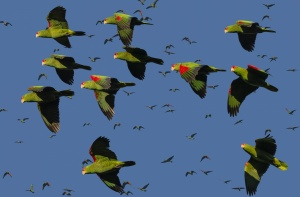 /Festival papagaio-charão