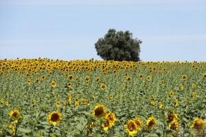 Paisagem Natural/Girassóis  no Baixo Alentejo