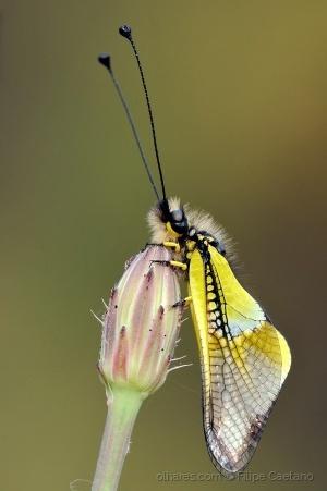 Animais/Libelloides baeticus
