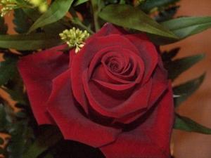 /rosa da paixão