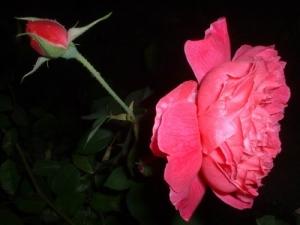 /Rosa e botão