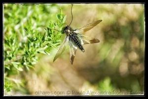 Outros/Libelloides coccajus