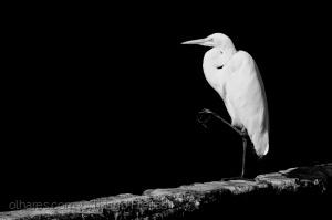 Animais/Branco e preto