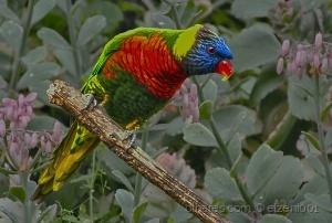 Animais/Lori Rainbow (Trichoglossus haematodus)