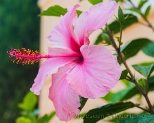 Macro/Hibiscus rosa-sinensis