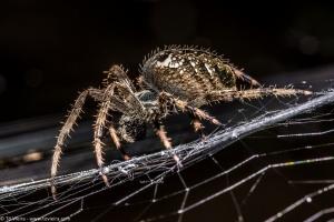 /Araneus diadematus