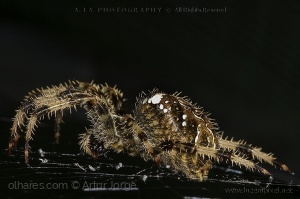 Macro/araneus diadematus