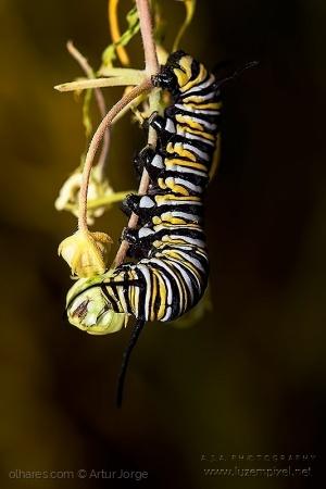 Macro/Lagrata da borboleta Monarca