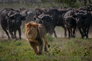 Animais/Coração de Leão