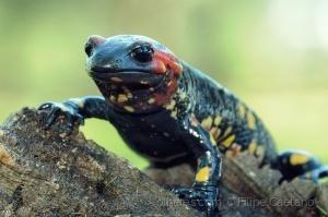 Animais/Salamandra salamandra