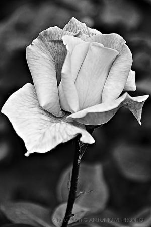 /rosa de cinzas