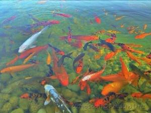 Animais/Red fish