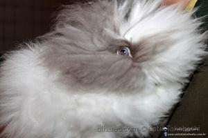 Animais/coelho alemão