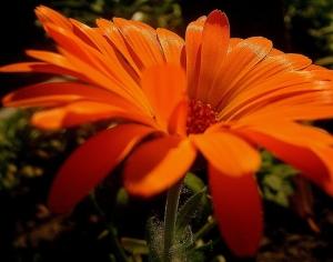 Macro/maravilha laranja