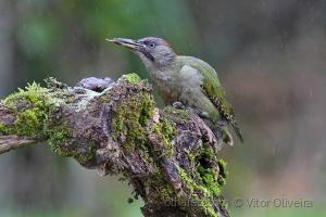 Animais/Pica-pau-verde (Picus viridis), femea