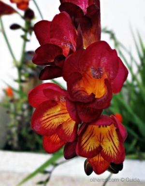 Paisagem Natural/Fresia multicolor.Para todos vós com carinho (ler)