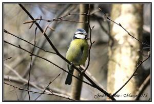 Animais/Chapim Azul - Parus caeruleus