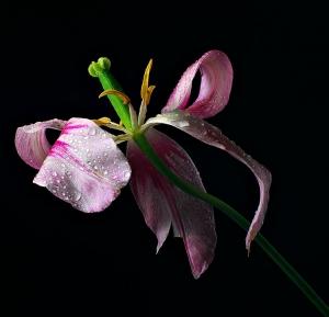 /Lily flowering tulip - Marilyn