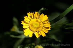 Macro/Little Yellow Flower II