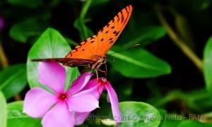 /Orange butterfly greedy