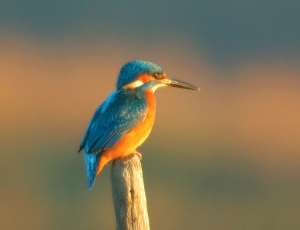 /Guarda-Rios (Kingfisher)