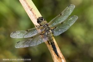/Libellula quadrimaculata