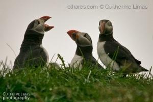 Animais/Papagaios do mar