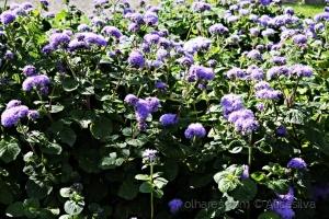 /Flores Lillás...