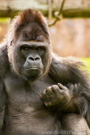 Animais/Gorila