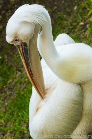 Animais/Pelicano