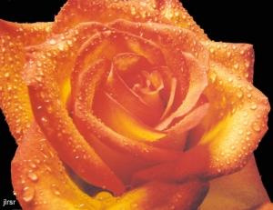 /Rosa do meu jardim