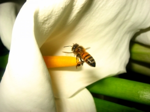 /Pouso da abelha ...