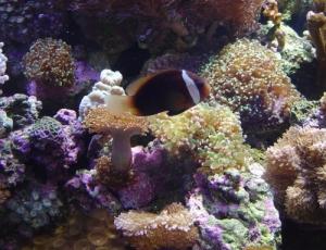 /palhaço e corais