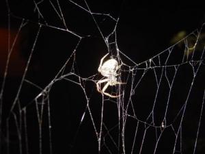 /Aranha à Noite