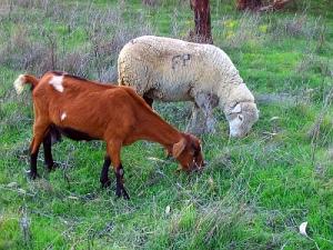 """Outros/""""A cabra...e a ovelha"""""""