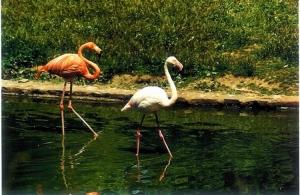 Animais/Casal de Flamingos