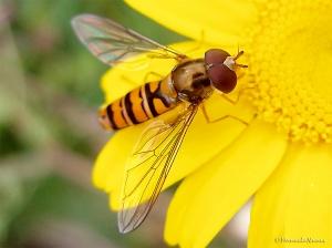 Animais/Syrphidae - Mosca das Flores