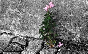 Macro/Flor do deserto (ler)