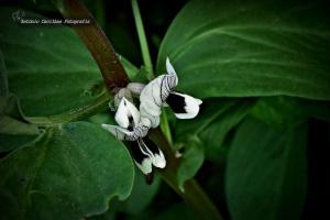Macro/Flor da fava  (ler)