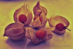 /Physalis, bela, saborosa e medicinal(Ler)