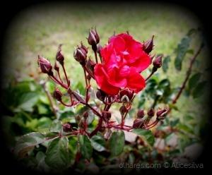 Macro/Rosas do meu jardim...........