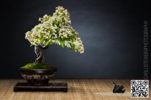 Outros/Bonsai I