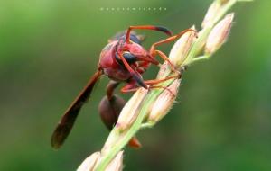 /Wasp
