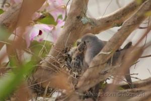 Outros/Pomba levando refeição no ninho
