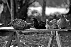 Animais/Reunião das galinhas